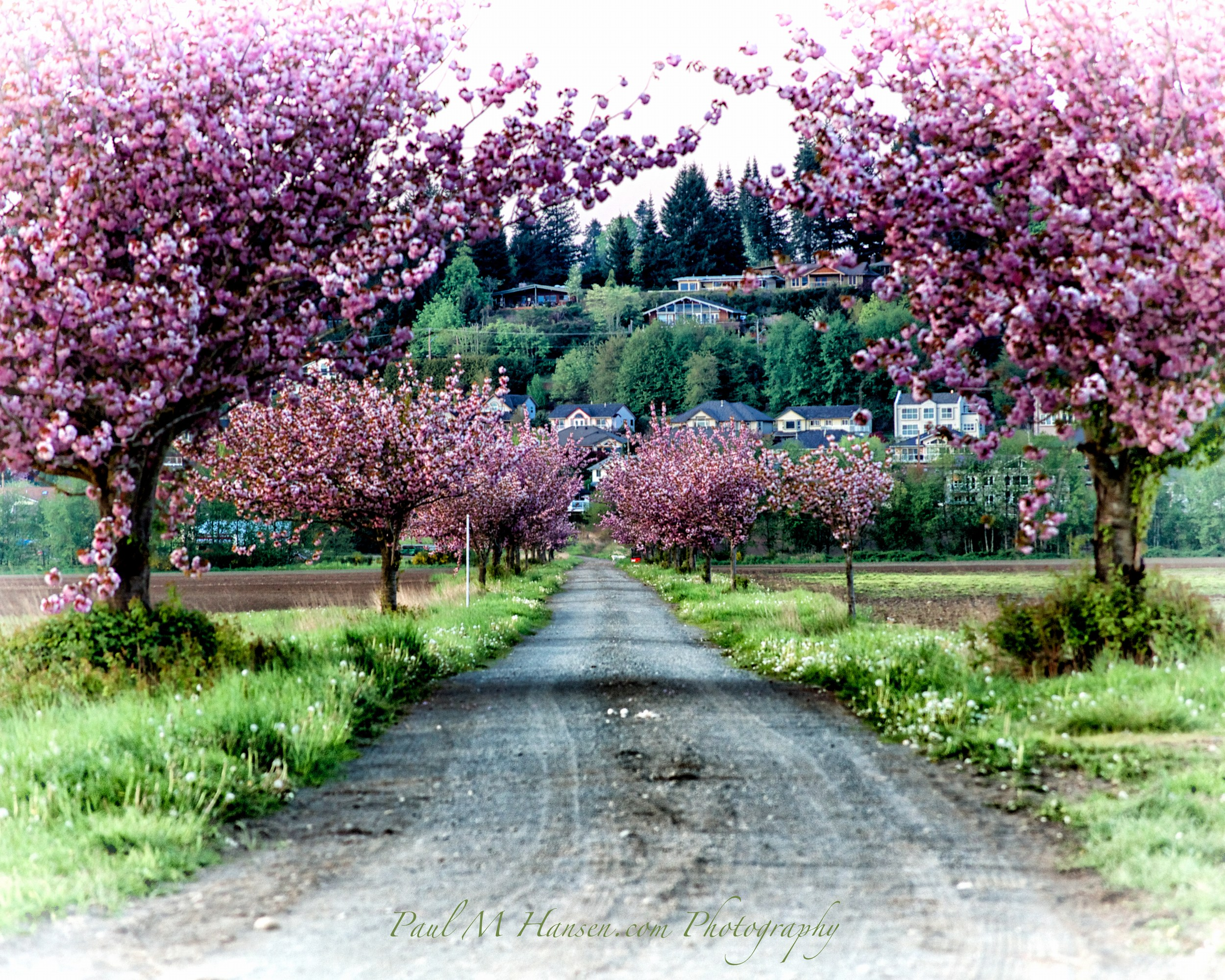 05pink_trees 392